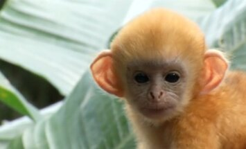 Jaunā gada noskaņās ar našķiem cienā Singapūras zoodārza pērtiķēnus