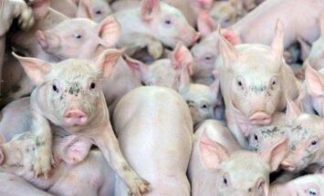 На зараженной АЧС ферме Druvas Unguri ликвидированы 7739 свиньи