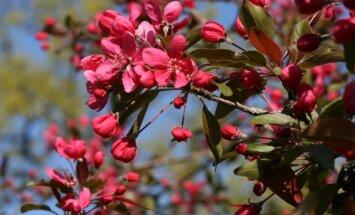 Foto: Botāniskajā dārzā plaukst ceriņi un rododendri
