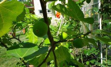 Persiku koki, lavandas un ziemeļu citroni – neparastu augu dārzi Latvijā