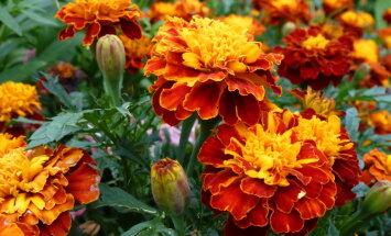 Нематоды - невидимый враг садов и огородов и что общего с ним имеют бархатцы