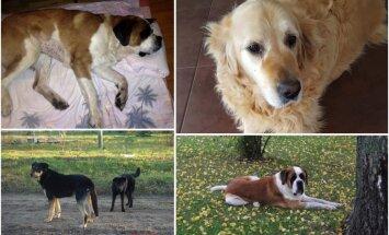 'Dogo' nedienas: saimnieku stāsti par suņu ciešanām; ražotājs noliedz barības saistību ar saslimšanām