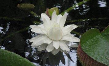Foto: Botāniskajā dārzā uzplaucis dabas brīnums – ūdensroze Krusa viktorija