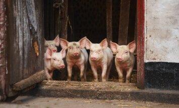 Ликвидированы все заразившиеся чумой 15 000 свиней на ферме Druvas Unguri