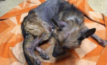 Policijai zināma persona, kuras novārgušais un slimais suns miris patversmē