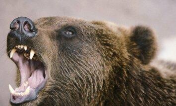 ASV Jeloustonas parkā lācis saplosījis cilvēku