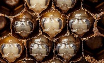 Video: Kā no mazajām oliņām attīstās darbīgās bites