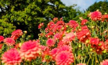 Foto un video no iespaidīgās dāliju kolekcijas Botāniskajā dārzā
