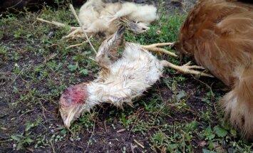 Foto: Grobiņas novada Dubeņos ūdeles plosa vistas un cāļus