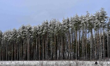Igaunijā aug garākā priede pasaulē