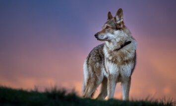 Tikai ar atļaujām – dažādās valstīs aizliegtās suņu šķirnes