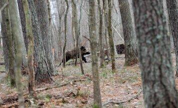 Āfrikas cūku mēris šogad pirmo reizi konstatēts mežacūkai Ziru pagastā