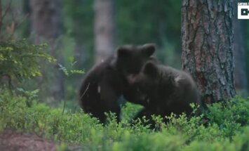 Video: Lācēni ampelējas un kož viens otram degunā
