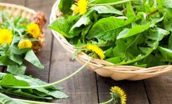 Nenovērtētās pienenes dārzā, ārstniecībā un ēdienkartē