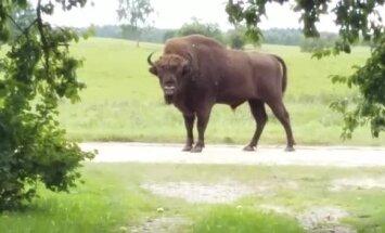 Sumbrs Latgalē: Dzīvnieka atgriešanās Latvijas savvaļā ir dabisks process, norāda DAP