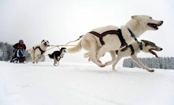 Aicina uz sniegotām kamanu suņu sacensībām Madonā