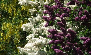 Jo vairāk lauž, jo bagātīgāk zied jeb Praktiski ieteikumi skaistākam ceriņlaikam