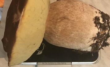 ФОТО: Боровик весом килограмм. Читатели рассказывают, где растут гигантские грибы