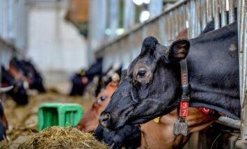 EK Latvijas piensaimnieku atbalstam piešķir 10 miljonus eiro