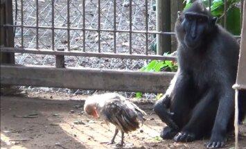 Primātu māmiņa zoodārzā Izraēlā 'adoptē' mazu putnēnu