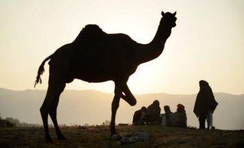 Apēsts Olandam dāvināts kamielis; Mali amatpersonas sola nosūtīt vietā lielāku