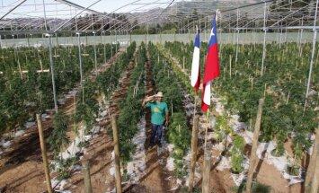 Foto: Čīlē atklāj lielāko medicīnisko kaņepju audzētavu