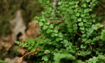 Latvijā atrasta jauna papardes suga – zaļā sīkpaparde
