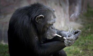 ВИДЕО: В зоопарке Пхеньяна посетителей развлекает шимпанзе-курильщица