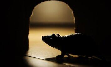 Tautas metodes cīņai ar nevēlamajām viešņām – pelēm