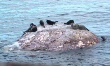 Baikāla ezerā masveidā mirst roņi