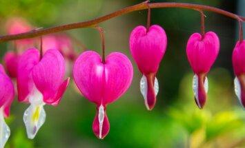 Nostalģiski krāšņā atmiņa no vecmāmiņas dārza – lauztā sirds