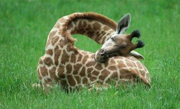Skati, ko retajam izdodas redzēt: kā guļ garkaklainās žirafes
