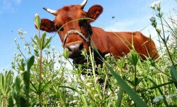 Zemnieki: Lietuvieši lauž piena iepirkuma līgumus, cenas krīt, jālūdz atbalsts ES