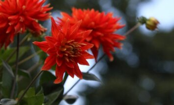 Foto: Pārdaugavā skaisti zied dālijas