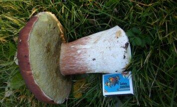 ФОТО: Читательница нашла огромный боровик весом почти килограмм