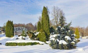 Kādi dārza darbi paveicami decembrī