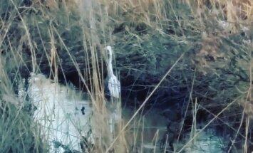Lasītājs Bolderājā pamana cēlu balto gārni