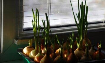 Vitamīni uz palodzes: padomi pirmo zaļumu audzēšanai telpās