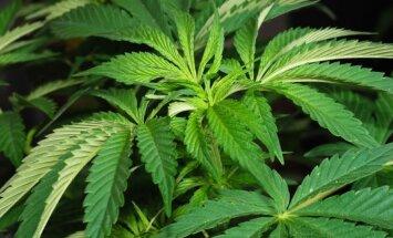 Izklaides vietās arvien biežāk alkoholu aizstāj marihuāna