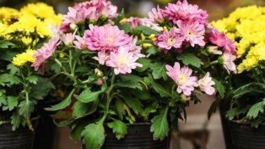 Rudens dārza gaviļnieces mārtiņrozes – kā tās audzēt