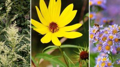 Audzētāja iesaka: sešas iespaidīgi garas ziemcietes, kas izdaiļos dārzu