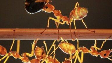 Как избавиться от рыжих домашних муравьев