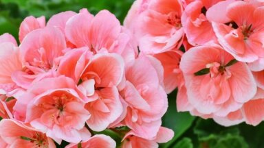 Lai šarmantās pelargonijas priecētu arī citugad – kopšanas viltības