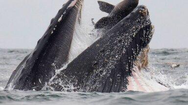Морской лев в пасти кита. Фото, которое удается раз в жизни