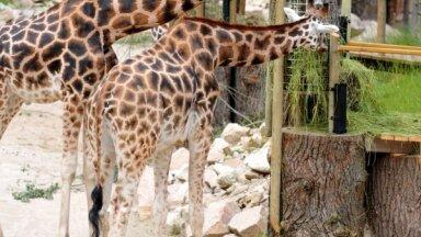 В Рижском зоопарке остался только один жираф, двое скончались