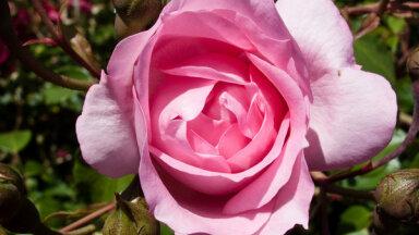 Kā veicināt rožu atkārtotu ziedēšanu