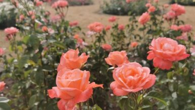 ФОТО. Как выглядят цветущие в садоводческой школе в Булдури розы