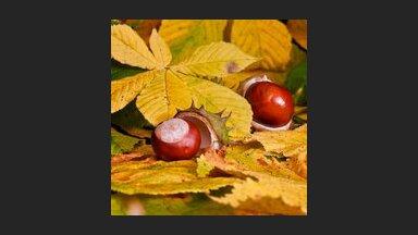 Interesanti fakti par rudens talismanu – kastaņas koku