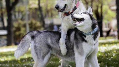 Хаски, бигль и другие породы собак, которые дружат с собратьями