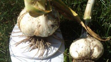 Skandāls dārzkopju aprindās – negodīgi pārdevēji dekoratīvos sīpolus uzdod par milzu ziloņķiplokiem